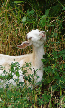 goat eating blackberry leaves