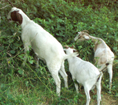 Goats eating blackberries